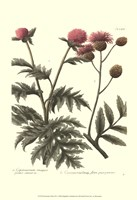 Weinmann, Pl. 347 Fine-Art Print