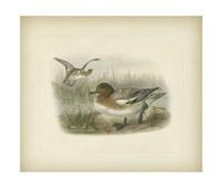 Redcrested Pochard Fine-Art Print