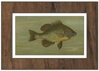 Common Sunfish Fine-Art Print