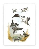 Red-headed Duck Fine-Art Print