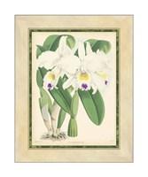 Orchid III Giclee