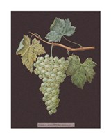 White Grapes Giclee