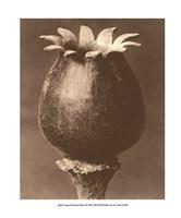 Sepia Botany Study I Giclee