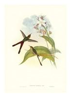 Hummingbird III Giclee