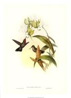 Hummingbird IV Giclee