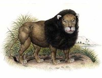 Lion from India I I Giclee