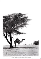 Camel and Tree, Desert of Mauritania Fine-Art Print