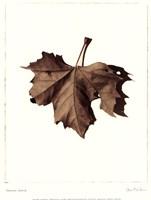Norway Maple Fine-Art Print