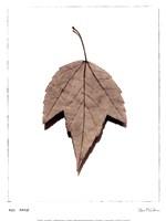 Red Maple Fine-Art Print