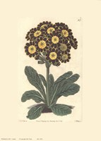 Auriculas Fine-Art Print