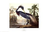 Louisiana Heron Fine-Art Print