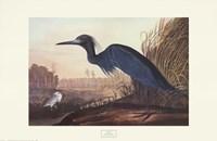 Little Blue Heron Fine-Art Print
