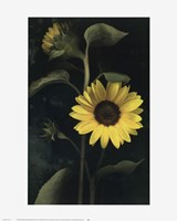 Two Sunflower Stems Fine-Art Print