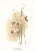 Vanda Hookeriana Fine-Art Print