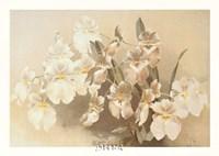 Odontoglossum Vexillarium Fine-Art Print