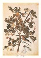 Quercus Robur E Parus Coerculeis Fine-Art Print