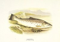 Great Lake Trout Fine-Art Print
