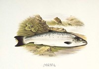 Grilse or Young Salmon Fine-Art Print