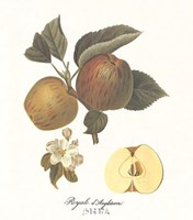 Apple/Royale d'Angleterre Fine-Art Print