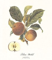 Apple/Blanc-Michel Fine-Art Print