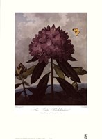 The Pontic Rhododendron Fine-Art Print