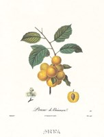 Plums/Prune de Briancon Fine-Art Print