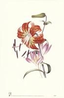 Flowers (Untitled) Tiger Lily Fine-Art Print