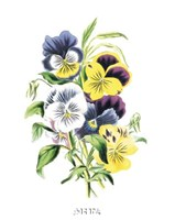 Flowers (Untitled) - Bouquet of Pansies Fine-Art Print