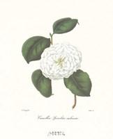 Camellia Spiraliter Imbricata Fine-Art Print