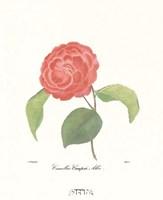 Camellia Campsii Alba Fine-Art Print