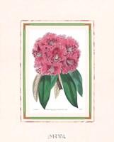 Rhododendron No. 3 Fine-Art Print