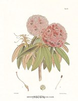 Campeelliae Sheopore Nepal Fine-Art Print