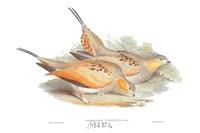 Syrrhaptes Tibetanus Fine-Art Print