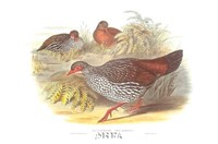 Galloperdix Zeylonensis Fine-Art Print