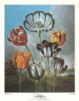 A Group of Tulips Fine-Art Print
