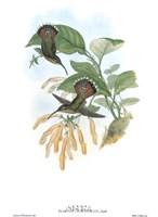 Glaucis Lanceolata/Hummingbirds Fine-Art Print