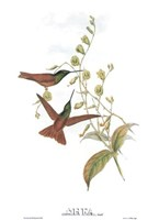 Diphogena Aurora/Hummingbirds Fine-Art Print