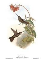 Coeligena Typica/Hummingbirds Fine-Art Print