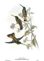Helianthea Dichroura/Hummingbirds Fine-Art Print