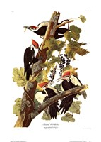 Pileated Woodpecker Fine-Art Print