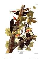 Pileated Woodpecker Fine-Art Print