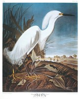 Snowy Heron or White Egret Fine-Art Print