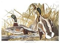 Mallard Duck Fine-Art Print