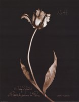 Tulip Sylvestrie No. 44 Fine-Art Print