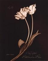 Tulip Sylvestrie No. 10 Fine-Art Print