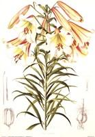 Lilium Centifolium Fine-Art Print