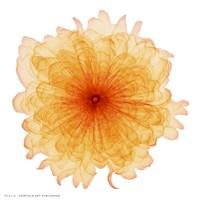 Orange Chiffon Fine-Art Print