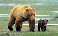 Grizzly Man - couple of bears Wall Poster