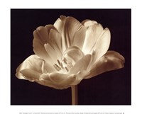 Champagne Tulip III Fine-Art Print