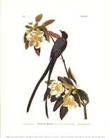 Fork-Tailed Flycatcher Fine-Art Print